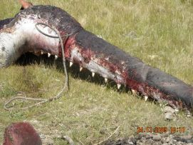 Same sperm whale jaw as in photo to left, the teeth are prized for carving